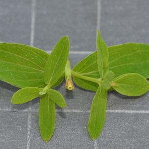 Photographie n°219646 du taxon Hypericum perforatum L.