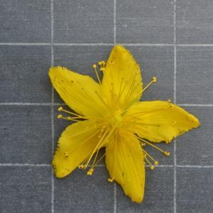 Photographie n°219649 du taxon Hypericum perforatum L.