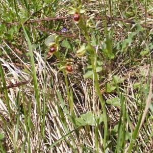 Photographie n°219753 du taxon Ophrys aranifera Huds. [1778]