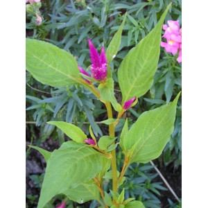 Amaranthus hybridus subsp. cruentus (L.) Thell. (Amarante couleur de sang)