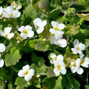 Photographie n°219870 du taxon Arabis caucasica Willd. ex Schltdl.