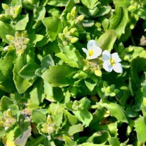 Photographie n°219871 du taxon Arabis caucasica Willd. ex Schltdl.