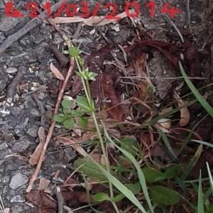 Photographie n°219973 du taxon Stellaire intermédiaire