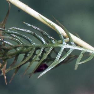 Photographie n°220124 du taxon Hottonia palustris L. [1753]