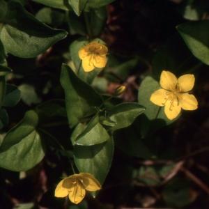 Photographie n°220131 du taxon Lysimachia nemorum L.