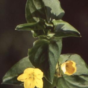 Photographie n°220134 du taxon Lysimachia nemorum L.