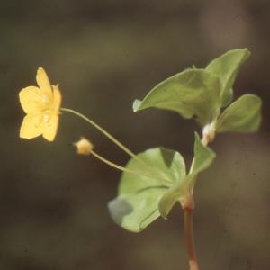 Photographie n°220135 du taxon Lysimachia nemorum L.