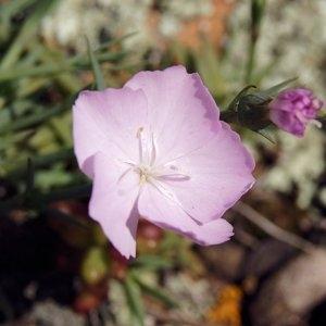Photographie n°220167 du taxon Dianthus furcatus var. gyspergerae (Rouy) P.Fourn. [1936]
