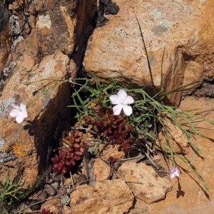 Photographie n°220168 du taxon Dianthus furcatus var. gyspergerae (Rouy) P.Fourn. [1936]