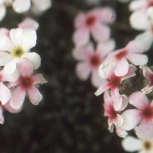 Photographie n°220197 du taxon Androsace villosa L. [1753]