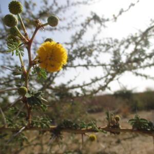 Photographie n°220207 du taxon Acacia ehrenbergiana Hayne