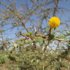 Photographie n°220210 du taxon Acacia ehrenbergiana Hayne