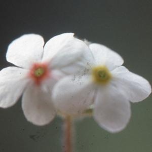 Photographie n°220213 du taxon Androsace villosa L. [1753]