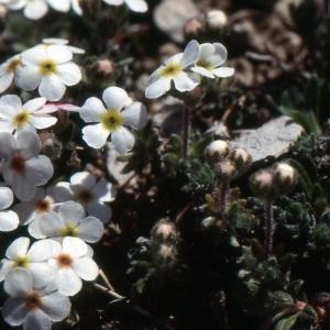 Photographie n°220222 du taxon Androsace villosa L. [1753]
