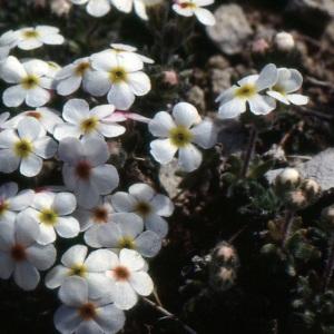 Photographie n°220223 du taxon Androsace villosa L. [1753]