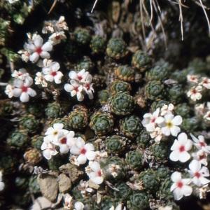 Photographie n°220224 du taxon Androsace villosa L. [1753]