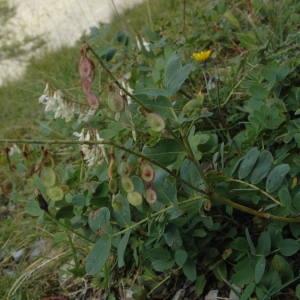 Photographie n°220316 du taxon Hedysarum boutignyanum (A.Camus) Alleiz. [1928]