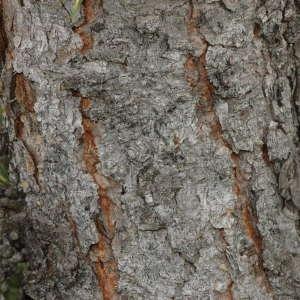 Photographie n°220380 du taxon Larix decidua Mill.