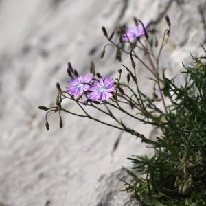 Photographie n°220426 du taxon Lactuca perennis L.