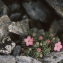 Liliane Roubaudi - Androsace alpina (L.) Lam. [1779]