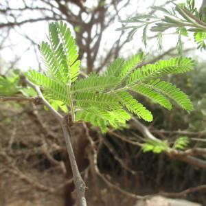 Photographie n°220474 du taxon Thalictrum foetidum subsp. foetidum