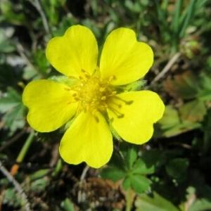 Photographie n°220505 du taxon Potentilla L.