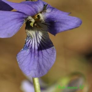 - Viola canina L. [1753]