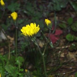 Photographie n°220536 du taxon Crepis sancta (L.) Bornm. [1913]