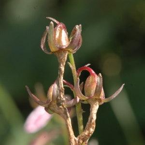 Photographie n°220604 du taxon Campanula rapunculoides L. [1753]
