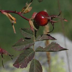 Photographie n°220626 du taxon Rosa villosa L.