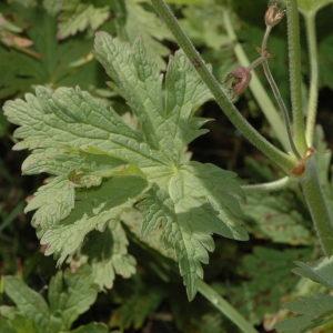 Photographie n°220724 du taxon Geranium sylvaticum L. [1753]