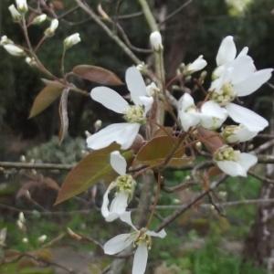 Amelanchier ovalis Medik. subsp. ovalis (Amélanchier)