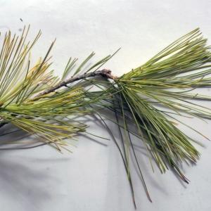 Pinus strobus L. [1753] (Pin blanc)