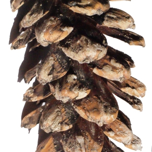 Pinus strobus L. (Pin blanc)