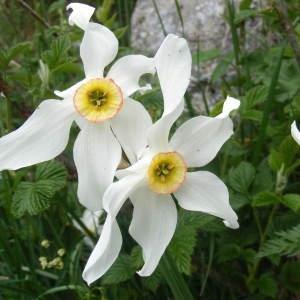 Narcissus x medioluteus Mill. (Narcisse à deux fleurs)
