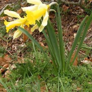Photographie n°220892 du taxon Narcissus pseudonarcissus L. [1753]