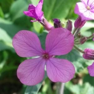 Photographie n°221008 du taxon Lunaria annua L. [1753]
