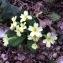 - Primula vulgaris Huds. [1762]