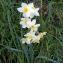 Nathalie ALIBELLI - Narcissus tazetta L. [1753]