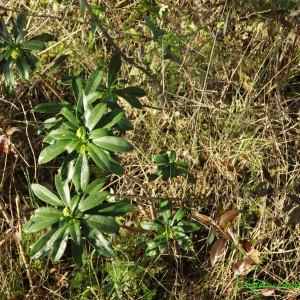 Photographie n°221205 du taxon Daphne laureola L. [1753]