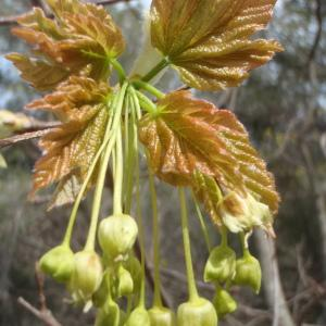 Photographie n°221347 du taxon Acer opalus Mill.