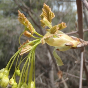Photographie n°221348 du taxon Acer opalus Mill.