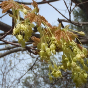 Photographie n°221351 du taxon Acer opalus Mill.