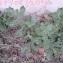 Jeannine NICOLAS - Centaurea aspera L. [1753]