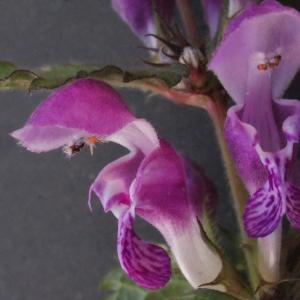 Photographie n°221483 du taxon Lamium maculatum (L.) L. [1763]