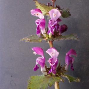 Photographie n°221488 du taxon Lamium maculatum (L.) L. [1763]