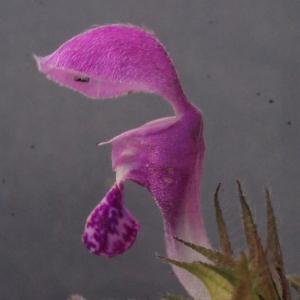 Photographie n°221490 du taxon Lamium maculatum (L.) L. [1763]