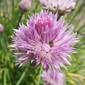 Photographie n°221493 du taxon Allium schoenoprasum L.
