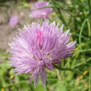 Photographie n°221494 du taxon Allium schoenoprasum L.