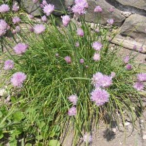 Photographie n°221495 du taxon Allium schoenoprasum L.